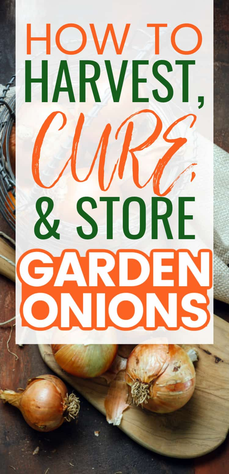 harvesting garden onions - how to cure onions